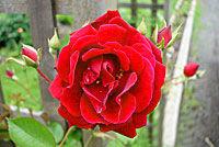 SH Flower
